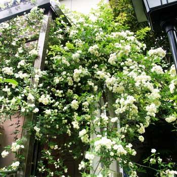 モッコウバラは、中国原産の常緑性つるバラです。 幹がハート型!?愛知県半田市にある「モッコウバラ」はかなり